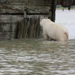 Polar Bear at Port Nelson (railway terminal)